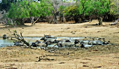 Wild Asian Water Buffalo in mud hole