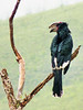 There are a good number of awesome birds – the first one to greet us is a majestic trumpeter hornbill,