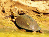 and I'm reasonably sure that this is a serrated hinged terrapin.