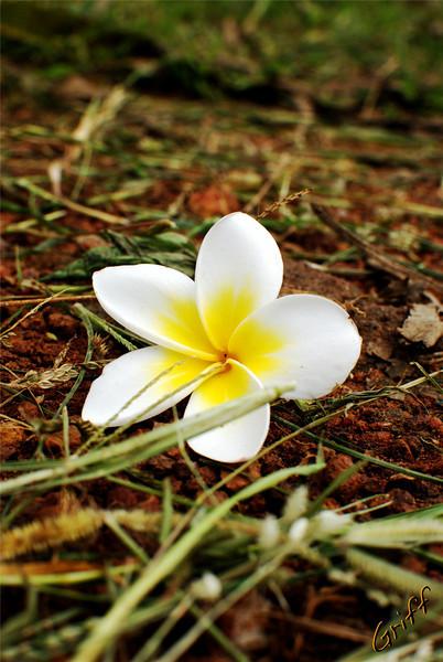 Kalachuchi (Plumeria Acuminata) flower on the ground in Tonj, Sudan.