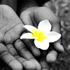Agum's hands holding a flower from a Kalachuchi tree.