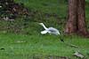 Cattle Egret, Si Satchanalai Historical Park