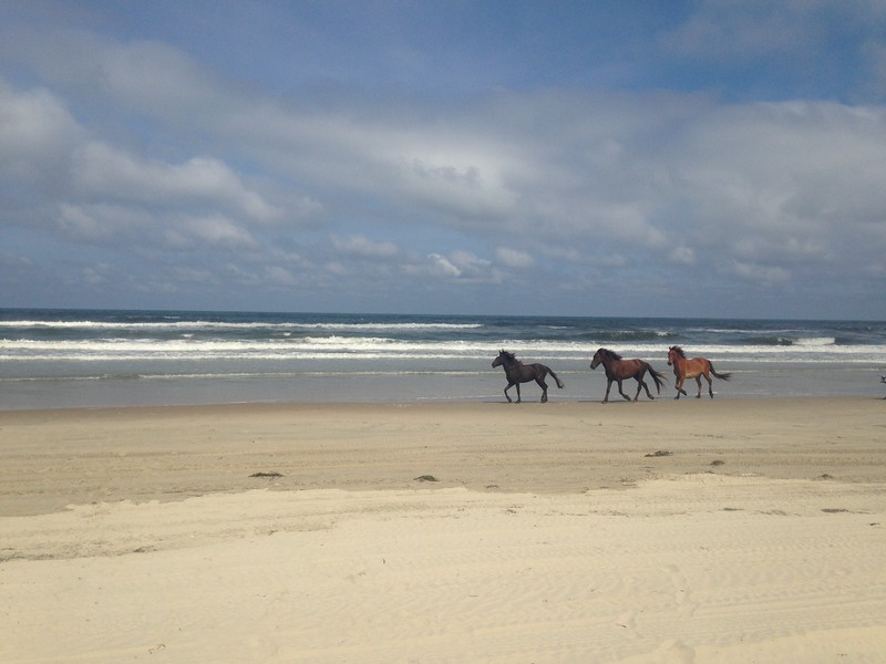 Then Claire & Robbie took us to the beach. Like Chincoteague, this part of the beach has wild horses. Claire had promised Lisa we'd see some. NOT FIVE MINUTES AFTER ARRIVING at the beach, a small herd came magnificently galloping through the surf. It was heroic.