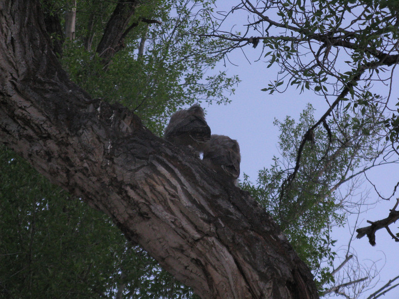 A pair of great horned owlets in a tree by our campsite.