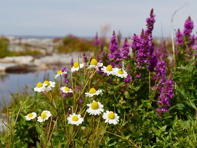 Sea mayweed and Purple loosestrife