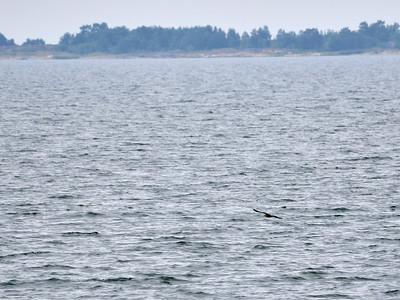 Great skua over the sea