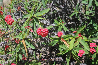Crown of Thorns (Euphorbia milii) Madagascar