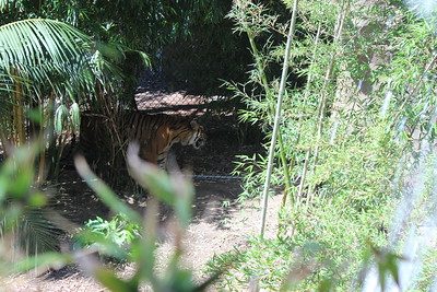 Restless tiger.