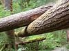 Fallen Douglas firs.