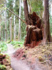 The red color is caused by bacterial action as the wood decomposes.