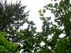 Alder leaves.