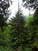 Hemlock tree, I think.