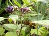 Wild blackberries.
