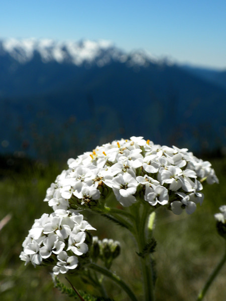 "Yarrow.  And one of my favorite pictures I've ever taken.  And instead of adding, ""I think,"" to every one of these, I'll just say right now that all my identifications are best guesses, because I am not a botanist."