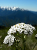 """Yarrow.  And one of my favorite pictures I've ever taken.  And instead of adding, """"I think,"""" to every one of these, I'll just say right now that all my identifications are best guesses, because I am not a botanist."""