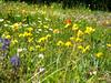 Lupine, ox-eye daisies, and paintbrush.  And something yellow.