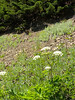 Cow parsnip, not to be confused with yarrow.