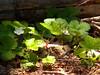 Wild strawberry of some sort.