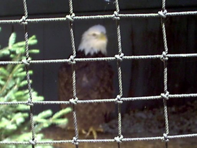 Eagle compound <br /> Dollywood has a on going eagle program.