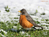 American Robin in the snow.