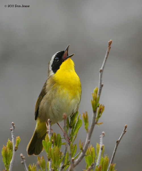 Common Yellowthroat, PEi Natl Park.