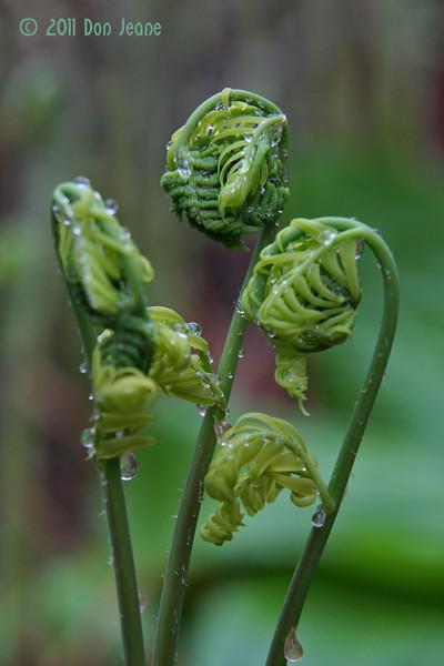Fiddlehead ferns, Orono Bog, Bangor, ME.