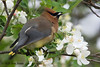 Cedar Waxwing, Cape Rd, N Rustico, PEI. Eating Wild Cherry blossoms.