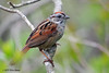 Swamp Sparrow, PEi Natl Park.