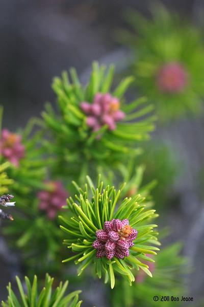 Future pine cones, Great Wass Island.