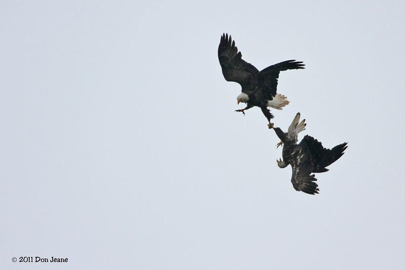 Bald Eagle Courtship, PEI Natl Park.