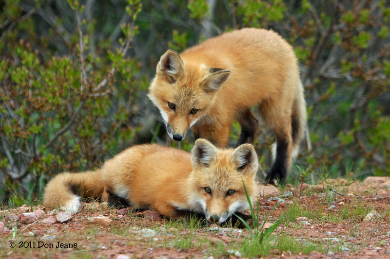 Red Fox kits, PEI Natl Park.