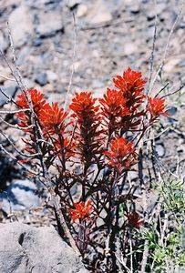 7/7/05 Desert Paintbrush (Castilleja chromosa). McGee Canyon Trail near McGee Creek. Inyo National Forest, Eastern Sierras, Mono County, CA