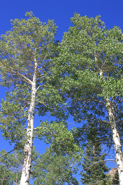 8/17/11 Towering Aspen trees along the dirt road between Lundy Lake Resort and Lundy Canyon trailhead. Eastern Sierras, Mono County, CA