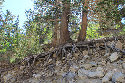 8/14/11 Cool roots. South Lake, Inyo National Forest, Inyo County, CA