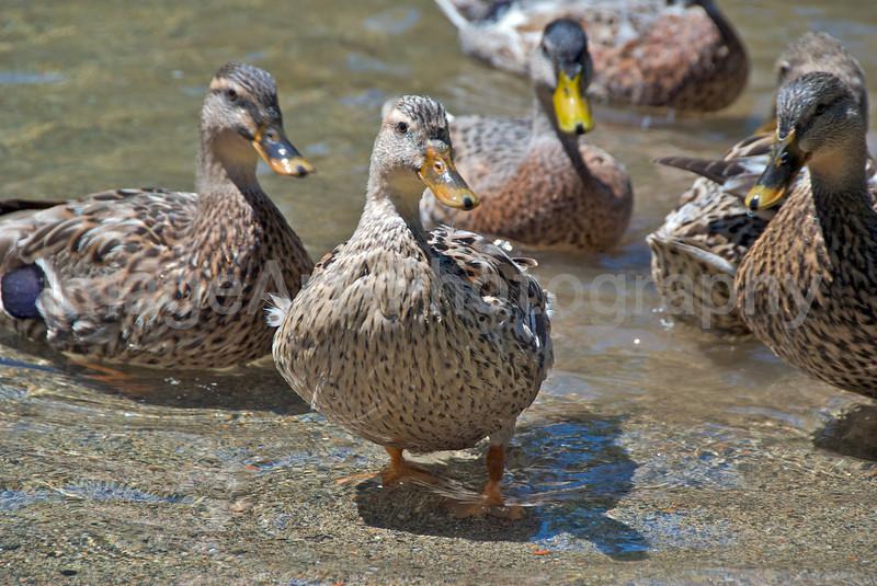 Ducks at Play