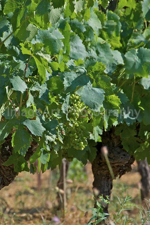 Summer Vine