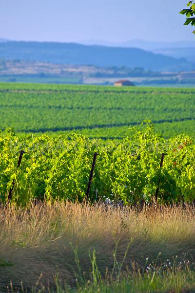 Evening Vines
