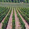 Midi Vines