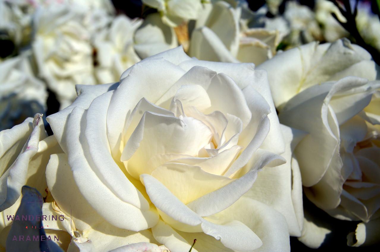 More roses in Tivoli Gardens
