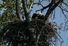 The Eagle parent tried to cover the chick as we approached, but to no avail. The chick was too curious.  This was taken at considerable distance on the Susitna River raft trip