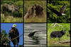 Pictured are a Moose in Denali, Grizzlies in Denali, Two Bald Eagles near Ketchikan, a Humpback Whale tail in Glacier Bay , and a Black Bear in Ketchikan backwaters. The Black bears we saw were grazing on coastline grasses.