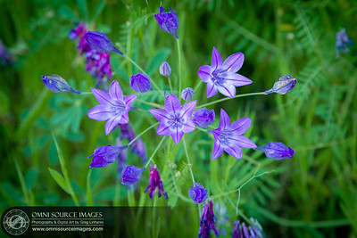 Brodiaea Cluster Lilies Sunol Ohlone Wildflowers