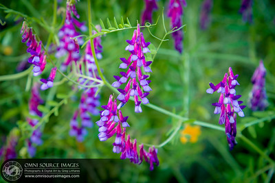 Vicia Vetches Sunol Ohlone Wildflowers