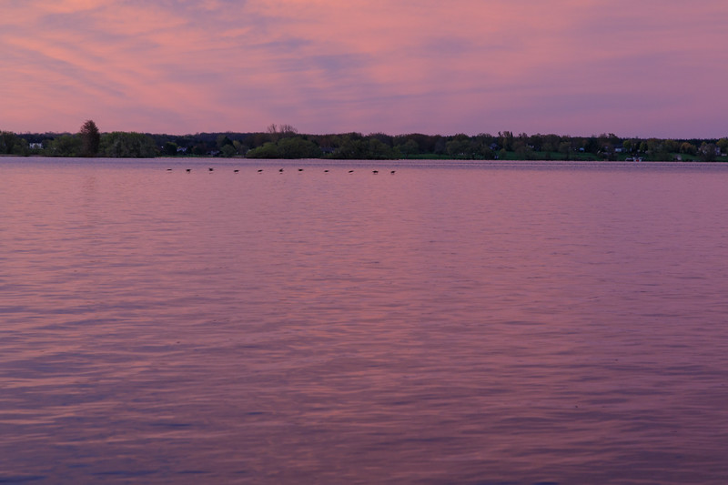 Waterfowl flying low over the purple water of the Bay of Quinte around sunrise.