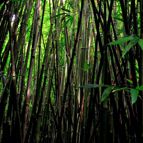 Bamboo Forest-  Maui Hawaii