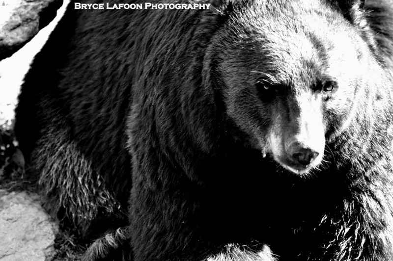 North Carolina Black Bear