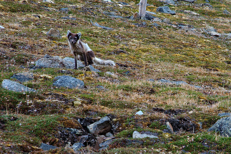 While making my way down towards the valley, I suddenly became aware of this little fellow, observing me. The wildlife in Spitzbergen, even close to civilization, is remarkably unafraid of humans.
