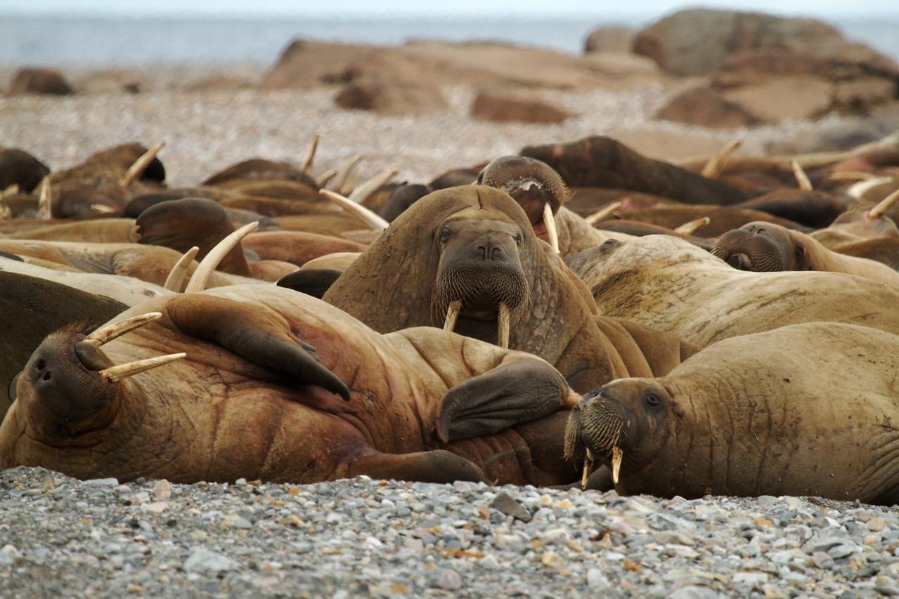 walruses, lagoya island