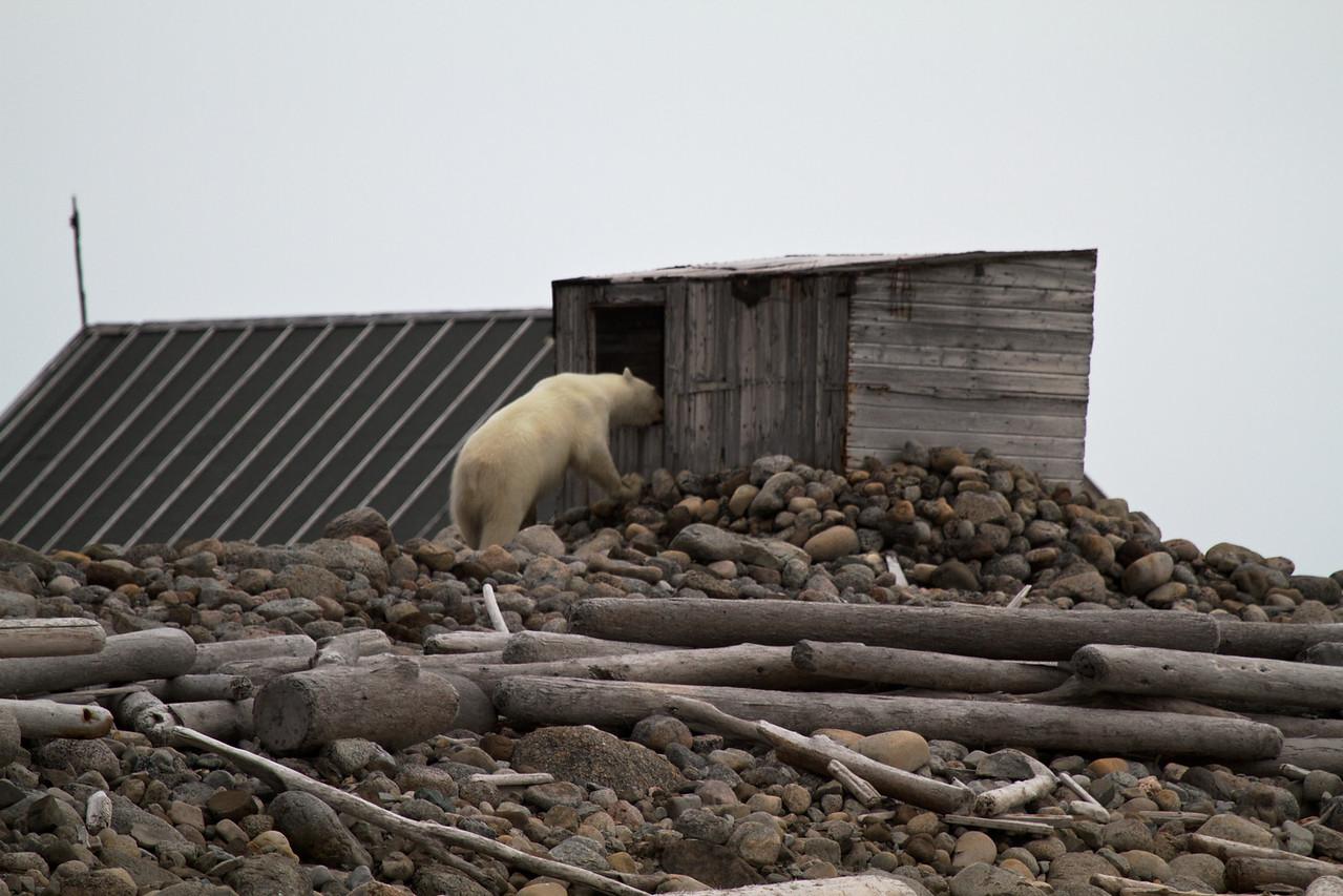 bear at deserted logging camp