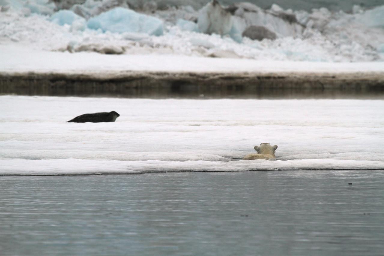 bear hunting seal
